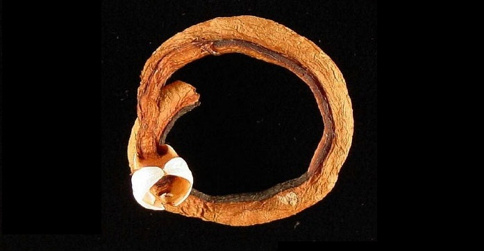 Shipworms Co-opt Digestive Enzymes From Outside Stomach, and It Could Aid the Bio Fuel Revolution